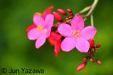 flowermiyako001