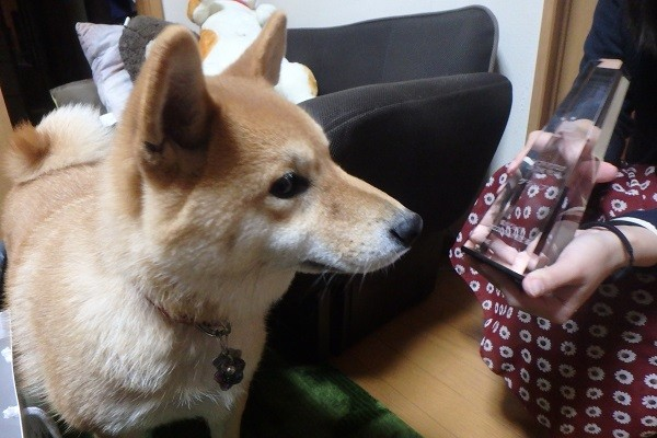 柴犬どんぐり1