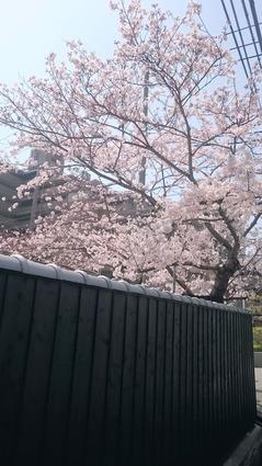 魚崎廊_桜