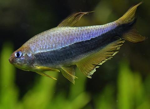 生物と自然の写真 by Seiichi Tanaka     カテゴリ: 淡水熱帯魚  すみだ水族館 自然水景の魚 コンゴテトラすみだ水族館 自然水景の魚 エンペラーテトラすみだ水族館 自然水景の魚 ミクロゲオファーガス・アルティスピノーサ