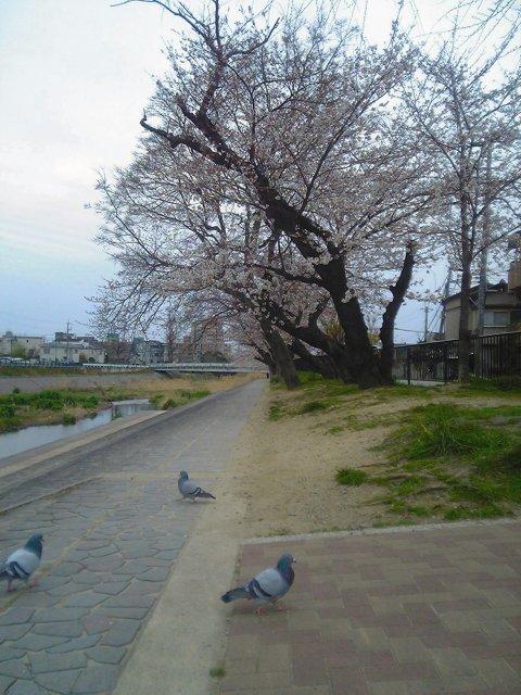 (\u003d゚ω゚)人(゚ω゚\u003d)ぃょぅ!デフォルトで2chっぽい顔文字があるの発見。 ってのは関係なくて、自転車連ねて桜を見に行ってきた。午後から雨になるとの予報だったから、目的