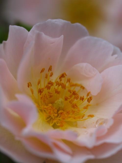 道端に咲く薔薇