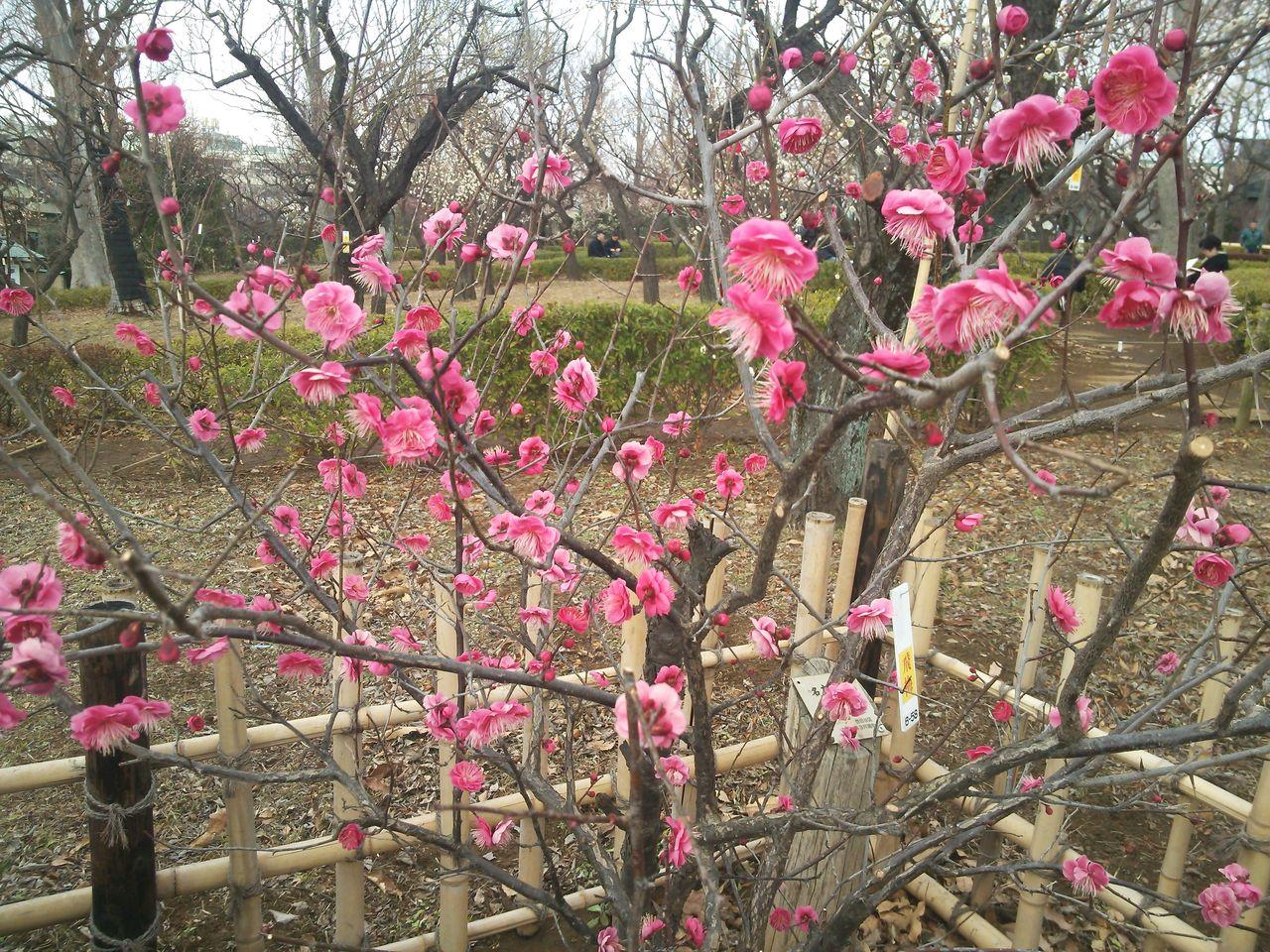 梅 2月9日より梅ヶ丘の羽根木公園で「第36回せたがや梅まつり」が開催され... 第36回せたが