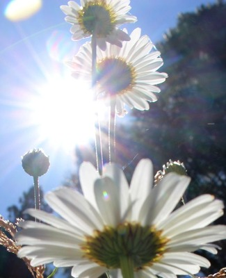 Shasta Daisy, Squaw Valley, 6-19-2015 155
