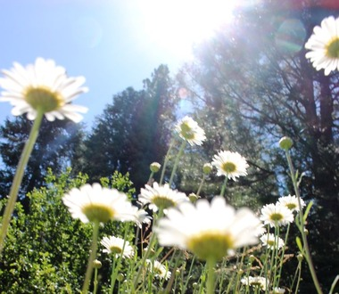 Shasta Daisy, Squaw Valley, 6-19-2015 161