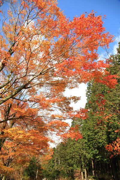 十里木紅葉