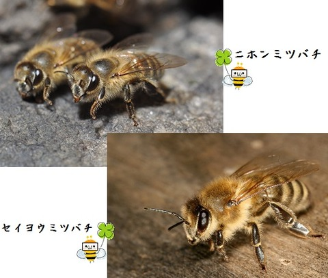 ミツバチ比較