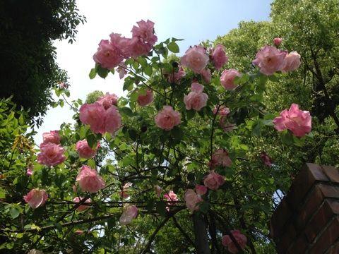 2013年薔薇