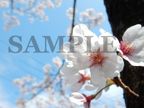 桜SAMPLE