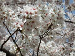 20180331 阪神競馬場 桜