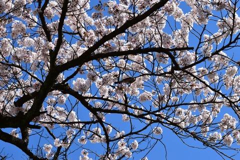 桜 ブログ用