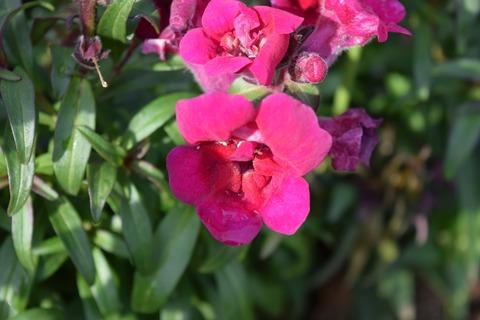 キンギョソウ(赤紫)ブログ用2