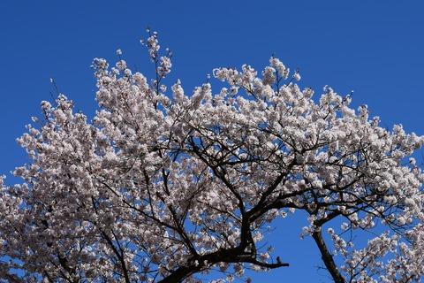 桜 ブログ用2