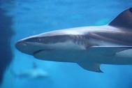 水中を泳ぐサメ