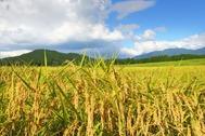 自然豊かな里山の環境で育てられた稲