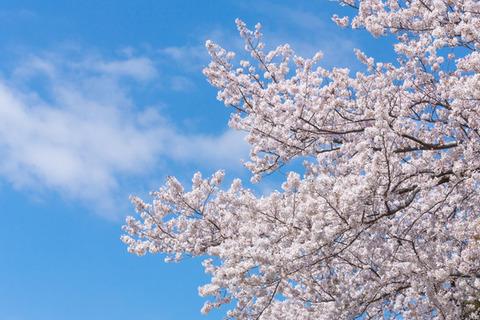 晴天の青空の下で桜の花が満開
