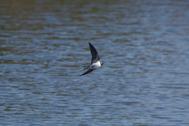 湖の水面上を滑空するツバメ