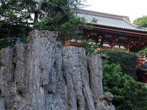 鶴岡八幡宮の大銀杏の木