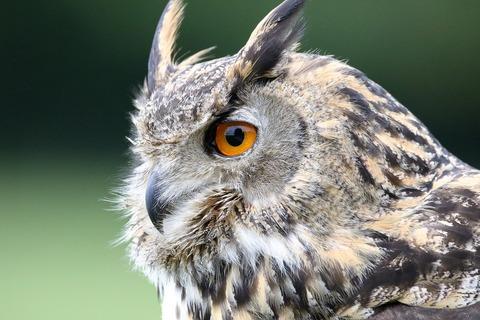 eurasian-eagle-owl-1642795_960_720