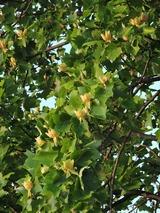 11百合の木の花鈴なりDSCN8854