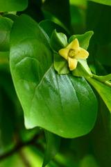 *18.5.13柿の花P1090626