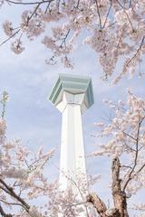 五稜郭の桜(3)