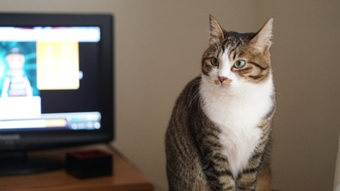 テレビ前の猫1