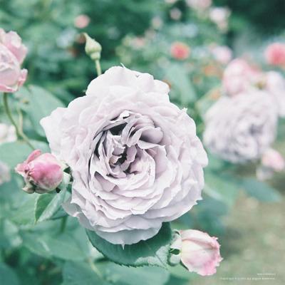 jpg薔薇