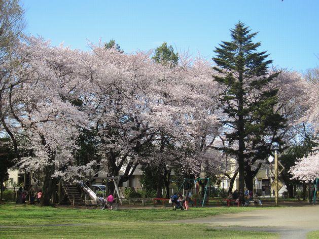 2017西久保公園桜
