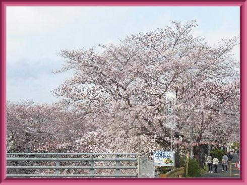 桜公園2019-1