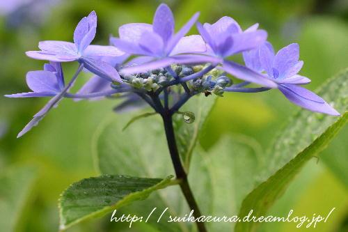 長府庭園紫陽花