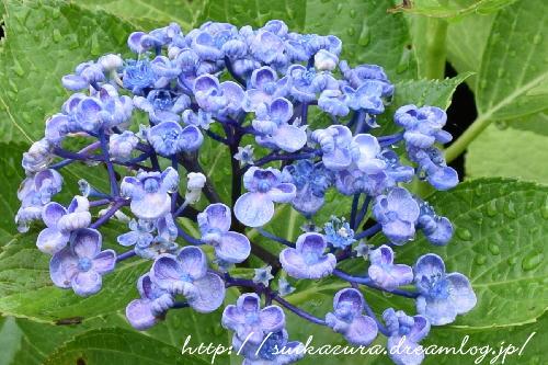 長府庭園紫陽花10
