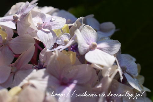 紫陽花2017-7