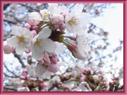 桜公園2019-3