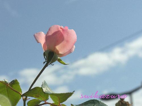 ピンクのバラ2