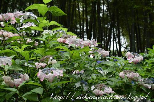 長府庭園紫陽花5