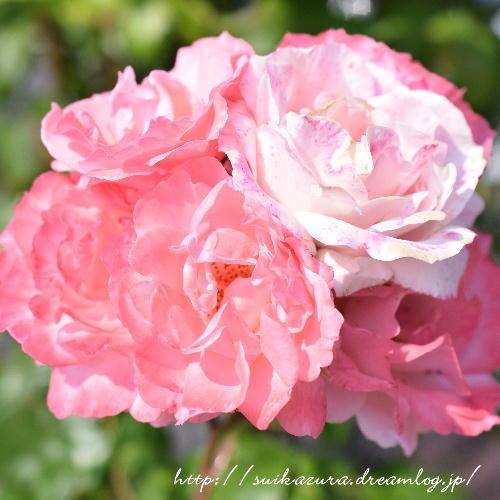 バラのブーケ咲き2017