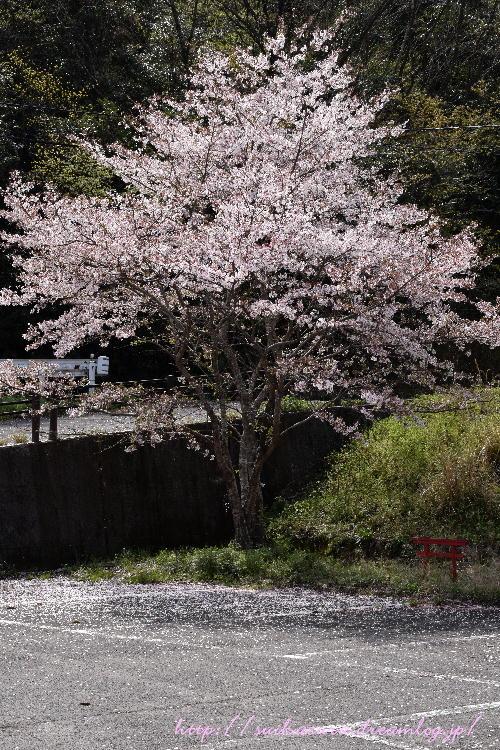 桜吹雪2017