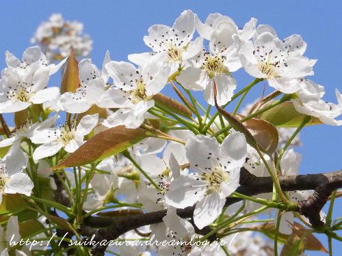 ナシの花2