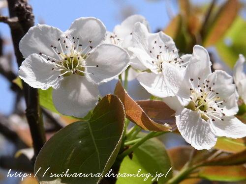 ナシの花3
