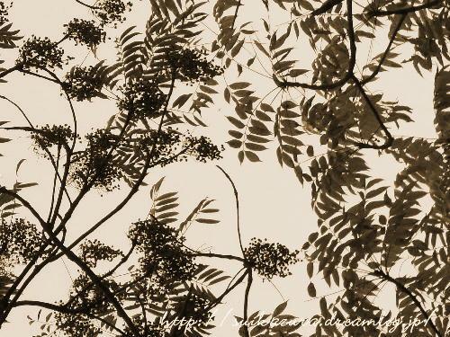 ハゼノキ葉と実sepia