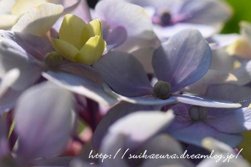 紫陽花2017-6