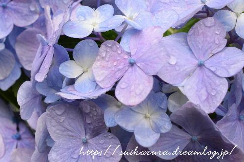 長府庭園紫陽花7