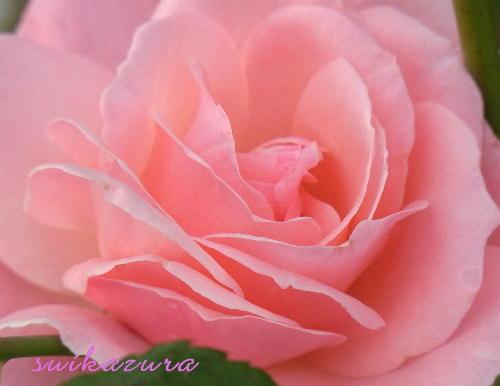 ピンクのバラ5