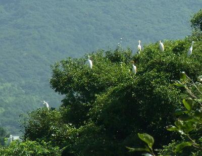木の上のサギ