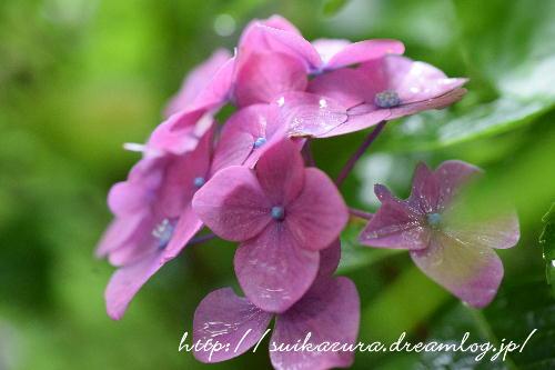 長府庭園紫陽花2