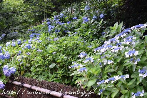 長府庭園紫陽花4