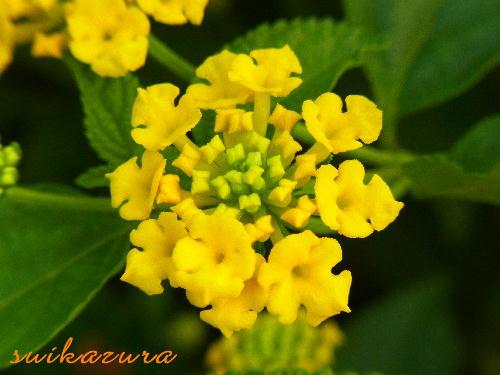 ランタナ黄色