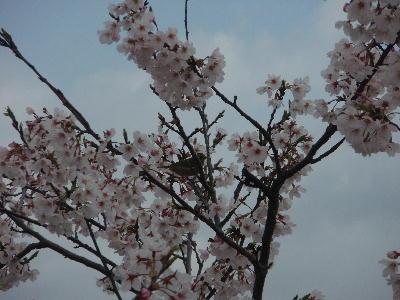 桜とメジロ0