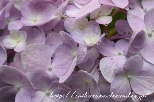 長府庭園紫陽花6